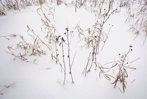 WinterGrasses