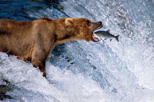 Mangelsen Bear & Salmon