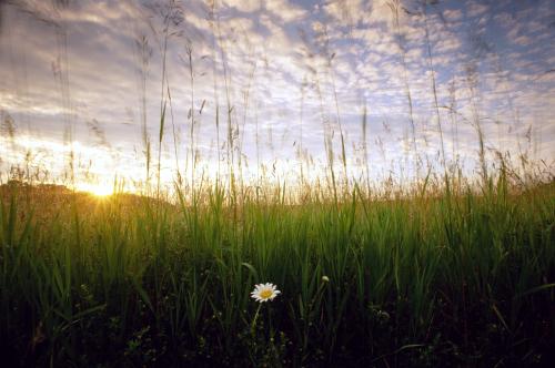 150 Daisy Sunrise